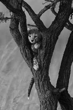 **Cheetah cub in the tree by Paul Goldstein