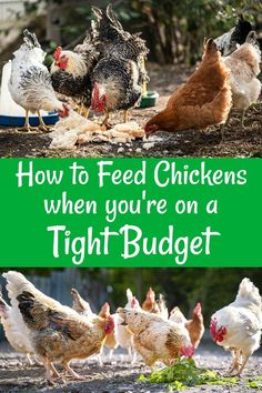 How to make sure your chickens have healthy feed when times are hard and money's scarce. What Can Chickens Eat, Herbs For Chickens, Raising Backyard Chickens, Urban Chickens, Pet Chickens, Keeping Chickens, Chicken Eating, Chicken Runs, Canned Chicken