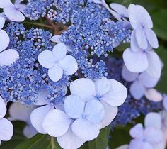 Twist-n-Shout (Hydrangea macrophylla Twist-n-Shout) is a reblooming lacecap with deep pink to periwinkle blue flowers, depending on soil pH. Supporting the blooms are red stems that add another layer of ornamental beauty to the garden. Grows up to 5 feet high and wide. Zones 4-9; Endless Summer