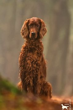 I see you - Ireen ,Irish red Setter