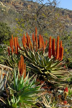 """""""Aloe ferox flowers"""" Aloe ferox - South Africa - July By Martin Heigan Agaves, Cacti And Succulents, Cactus Plants, Garden Plants, Amazing Gardens, Beautiful Gardens, Beautiful Landscapes, Air Plants, Indoor Plants"""