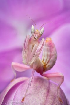 Malaysian Orchid Mantis {Hymenopus coronatus} showing pink colouration camouflaged on an orchid.