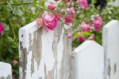 pink flowers spilling over a chippy fence