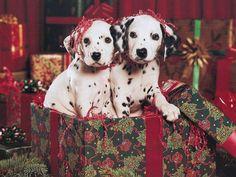 Dalmatian dog christmas