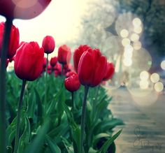 Tulips, one of my all-time favorite flowers.