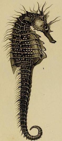 Scientific Illustration. Sea Horse. Black Ink. Sea Life. www.tradescantandson.com: