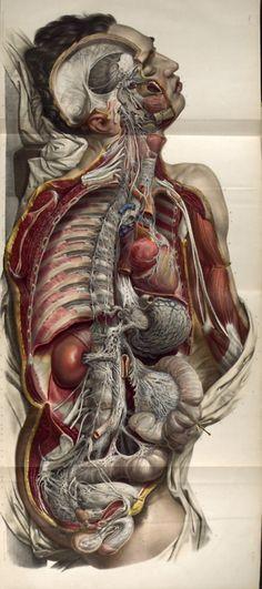 Nicolas Henri Jacob - Illustration for Traité complet de l'anatomie de l'homme comprenant la médecine opératoire (1831-1854) by Jean-Baptiste Marc Bourgery      Autonomic nerves of the body.