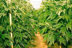 Greener Pastures Await a San Diego That Embraces Cannabis Farming - Voice of San Diego