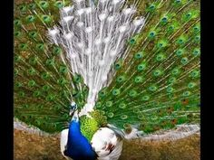 Peacocks - While flying - Awesome slide show (very clear photos) - YouTube