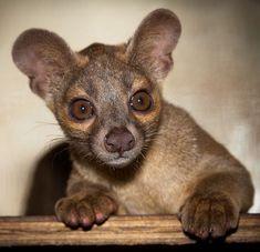 Fossa Pup - native to Madagascar. Eats Lemurs. But still really cute.