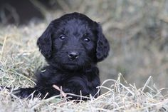 Black Goldendoodle Puppy - This is EXACTLY what our new puppy looks like! Isn't she cute? :D