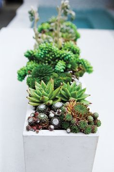 A mix of mini succulents in a trough-like container makes a perfect centerpiece for an outdoor dining table. From front to back: rosette-forming Sempervivum S. soboliferum (right) and S. arachnoideum (left); a pair of Echeveria agavoides; ropes of Sedum 'Burrito'.