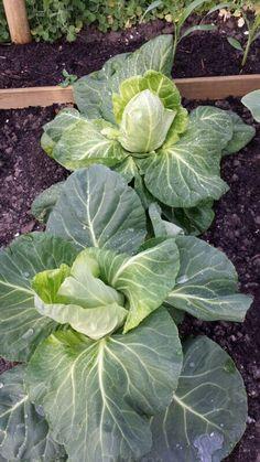 Spitskool - oxheart cabbage