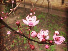 #blossom #pinkblossom