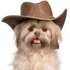 Cute Cowboy.LOL  #dogsittingperth