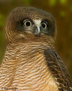 Rufous Owl (Ninox rufa) - Featherdale Wildlife Park, Doonside, New South Wales, Australia