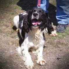 Carson is an adoptable English Springer Spaniel Dog in Ladysmith, WI. Carson is a 1 year old intact male Springer Spaniel. He came in as a stray, so we don't know much about him except that he's very ...