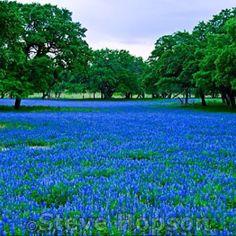 Texas Bluebonnets photo by Steve Hooson