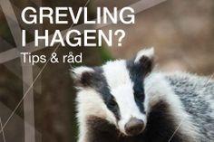 Grevlingen er det største rovdyret de fleste mennesker får se i vill tilstand i Norge. Dyr i nærmiljøet gir muligheter for naturopplevelser i hverdagen. Samtidig stiller det krav til oss om at vi respekterer dyrenes atferd. Er du en av de få som har grevling i hagen, så benytt sjansen til å studere dette fascinerende og ufarlige dyret.
