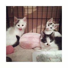 今日は#保護猫祭 ということでうきちのお話😺 * うきちは3兄弟で私のお客さんが保護した猫ちゃんでした。 * みんな個性的な模様でとっても可愛く、その中でうきちは1番体も大きかったので2ヶ月違いのうるめと良い遊び相手になるかな?と里親になる事を決めました✨ 他の2匹も素敵な里親さんの元で元気に過ごしているようです😊 * 今では男の子だけあって、うるめと見た目変わらないくらいの大きさで、態度もデカく、毎日人の指を吸い、ドタバタ走り回ってすくすく成長中です〜 * ただたまに仕事から帰ってうるめから構ったり、他の用事を先にすると当てつけのように毛布や布団に粗相をしてくるうきち。 それだけは勘弁してください🙏 * * #保護猫 #3兄弟 #白黒猫 #眉毛猫  #白黒ハチワレ #子猫 #長毛猫  #愛猫 #シロクロトビ #やんちゃ #甘えん坊 #みんねこ #ねこすたぐらむ #ぺこねこ部 #にゃんすたぐらむ #多頭飼い #にゃんだふるらいふ  #ilovecat #whitecat #pet #cat #catstagram #instacat #kitty