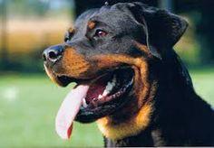 Rottweiler <3