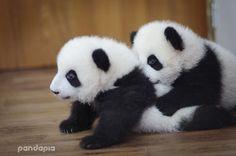 Giant Panda Photos • © PandaPia.