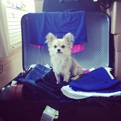 Cappou - Chihuahua long hair - 9 months