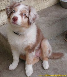 red merle aussie. i want you!