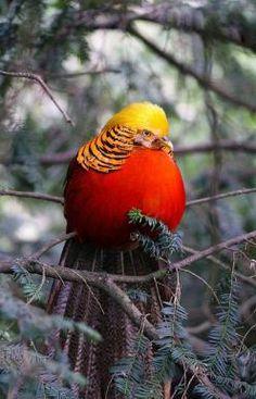 golden pheasant - now identified thanks to Pin-friend knowledgeable naturalist Jean-Daniel Christin: Butterflies, Poultry, Golden Pheasant, Birdie, Animals Birds, Beautiful Birds, Bird Of Paradise, Photo