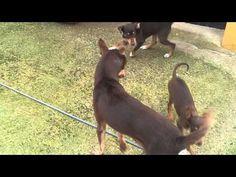 Beautiful podenco orito puppies! cachorro en venta podenco orito español - YouTube