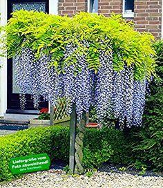 Ideal BALDUR Garten Blauregen auf Stamm Pflanze Wisteria sinensis Glycinie