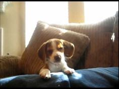 Adorable Beagle Puppy Does His First Howls