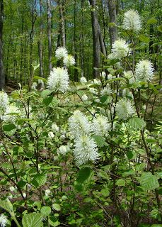 Fothergilla Mt Airy - a great shrub for shade. click below for info.