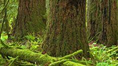 Some of B.C.'s old growth trees date back to the Magna Carta. B.CV. urged to ban the logging of heritage trees!