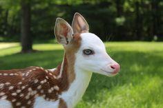 Deer8