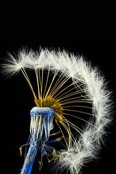 Dandelion - I love the idea of having a blue stem! Inspiration for a future painting