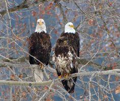 Eagles of Prey Love Birds, Beautiful Birds, Animals Beautiful, Eagle Pictures, Bird Pictures, Aigle Animal, Where Eagles Dare, Wild Animals Pictures, Birds Of Prey