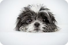 Zoe by Richard Phibbs.  She is a Shih Tzu available for adoption at the Humane Society of New York.