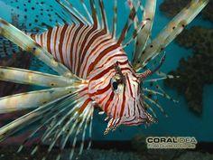 lionfish - Google Search