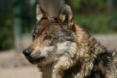 Ze vlk :P by WolfMote.deviantart.com on @deviantART