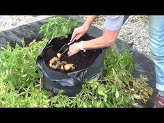 Aardappelen kweken in een zak - YouTube