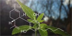 Do you know how CBD works? The medicinal potential of this cannabinoid might surprise you. Here's everything you've ever wanted to know about CBD.