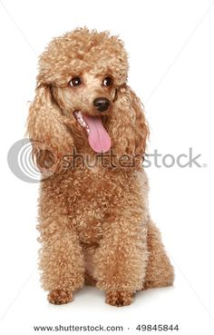 precious bebe! I want a toy apricot poodle so bad. #heartmelting
