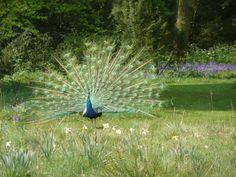 A peacock at KEW Gardens, London