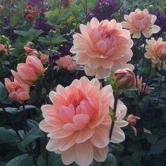 My 2017 Favourite dahlia Apricot desire. Cut Flower Garden, Flower Farm, Flower Pots, Dahlia Flower, Diy Flower, Shade Flowers, Pretty Flowers, Prettiest Flowers, Cosmos Flowers