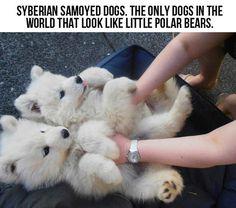 Siberian Samoyed Dogs.