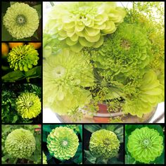 #Green #Zinnia #Envy #Wedding #Flowers #Florists #Floral #Spring #Blossom #Buds #Seeds #Garden #Gardening #Bouquets #Botanic #Gardens #Nature -- Click to see full size image at http://partymotif.com