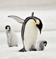 Emperor Penguins by laoge photo List Of Animals, Baby Animals, Funny Animals, Cute Animals, Penguin Love, Cute Penguins, Happy Penguin, Beautiful Creatures, Animals Beautiful