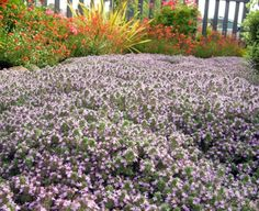 Whooly Thyme - parking strip steppable ground cover (tough and drought tolerant). for behind horeshoe pits! Growing Gardens, Farm Gardens, Outdoor Gardens, Landscaping Plants, Garden Plants, Narrow Garden, Drought Tolerant Landscape, Professional Landscaping, Ground Cover Plants