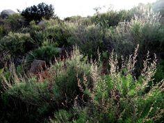 California Sagebrush, Coastal Sage Brush, Coast Sagebrush, Artemisia californica. 2-4'. Easy to grow. Sun. Tolerates some water.